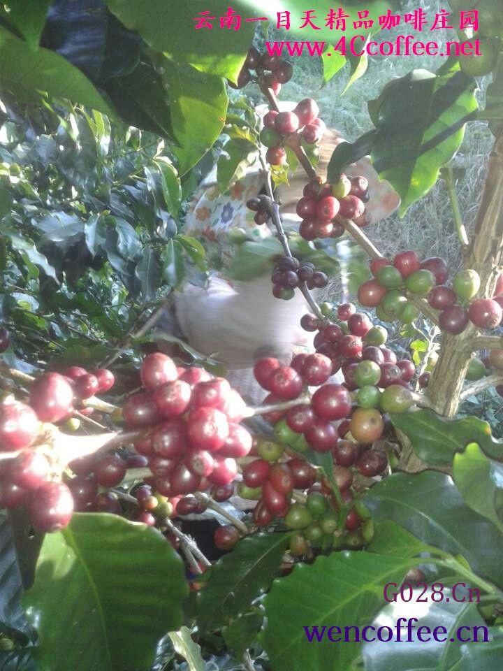 什么是黄蜜咖啡豆?黄蜜法处理咖啡豆《云南黄蜜法处理咖啡豆》中国云南黄蜜法处理咖啡豆